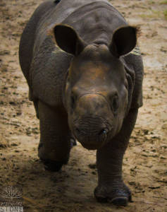 Greater one-horned rhinoceros or Indian rhinoceros (Rhinoceros unicornis) VULNERABLE