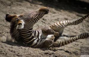 Grevy's zebra—juvenile (Equus grevyi) ENDANGERED