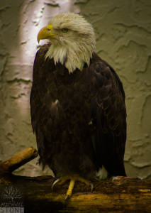 Bald eagle—adult (Haliaeetus leucocephalus)