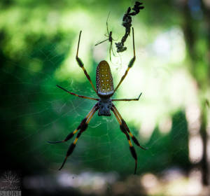 Golden silk orbweaver—female and much smaller male (Nephila clavipes)