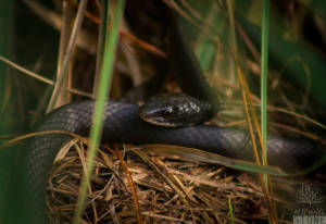 Black racer (Coluber constrictor priapus)