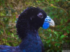 Blue-billed curassow—male (Crax alberti) CRITICALLY ENDANGERED