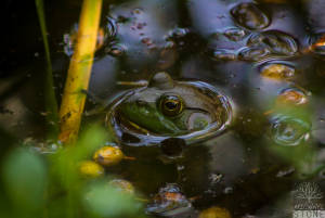 American bullfrog—adult (Lithobates catesbeianus)