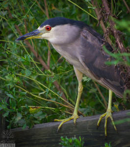 Black-crowned night heron—adult (Nycticorax nycticorax)