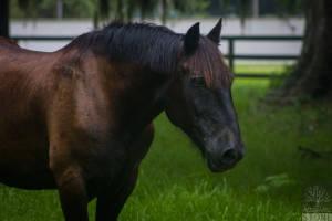 Domestic horse (Equus ferus caballus)