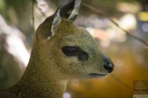 Klipspringer—female (Oreotragus oreotragus)