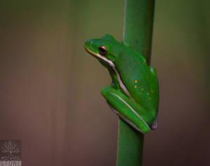 Green treefrog (Hyla cinerea)