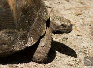 Galapagos giant tortoise (Chelonoidis nigra) VULNERABLE