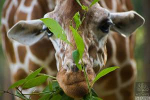 Reticulated giraffe—female (Giraffa camelopardalis reticulata)