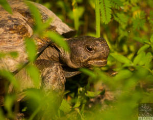 Gopher tortoise (Gopherus polyphemus) VULNERABLE