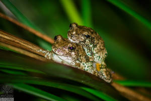Gray treefrog—female and male mating (Hyla versicolor)