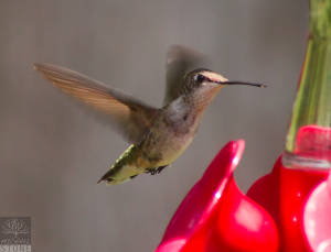 Ruby-throated hummingbird (Archilochus colubris )
