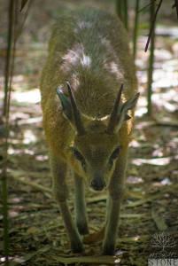 Klipspringer—male (Oreotragus oreotragus)
