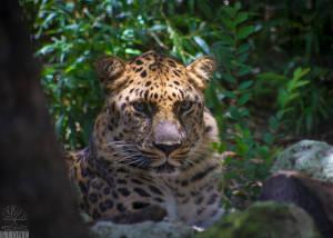 Amur leopard (Panthera pardus orientalis) CRITICALLY ENDANGERED