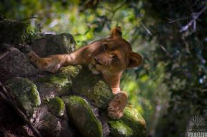 Lion (Panthera leo) VULNERABLE
