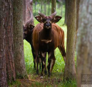 Eastern bongo—males (Tragelaphus eurycerus isaaci) CRITICALLY ENDANGERED