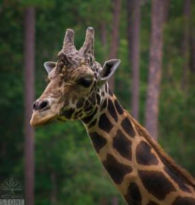 Reticulated giraffe—male (Giraffa camelopardalis reticulata)
