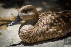 Marbled teal (Marmaronetta angustirostris) VULNERABLE