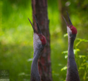 Florida sandhill crane (Grus canadensis pratensis) ENDANGERED, as classified by the U.S. Fish and Wildlife Service