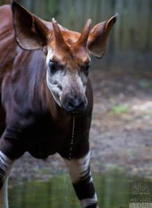 Okapi—male (Okapia johnstoni) NEAR THREATENED