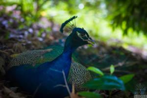 Indian peafowl—male (Pavo cristatus)
