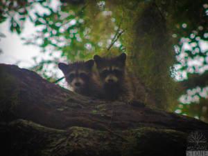 Northern raccoon—juveniles (Procyon lotor)