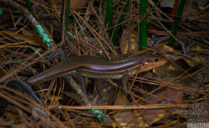 Broad-headed skink—adult (Plestiodon laticeps)