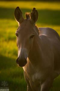 Somali wild ass (Equus africanus somaliensis) CRITICALLY ENDANGERED