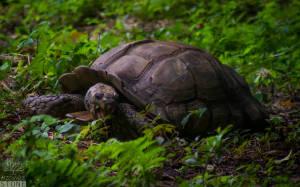 Burmese brown tortoise (Manouria emys phayrei) ENDANGERED