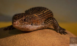 Sudan plated lizard (Gerrhosaurus major)