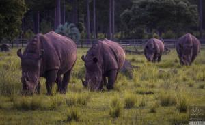 White rhinoceros (Ceratotherium simum) NEAR THREATENED