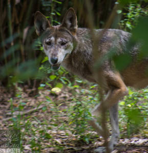 Red wolf (Canis rufus) CRITICALLY ENDANGERED