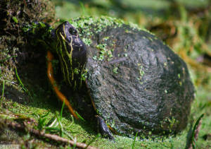 Suwannee cooter (Pseudemys concinna)