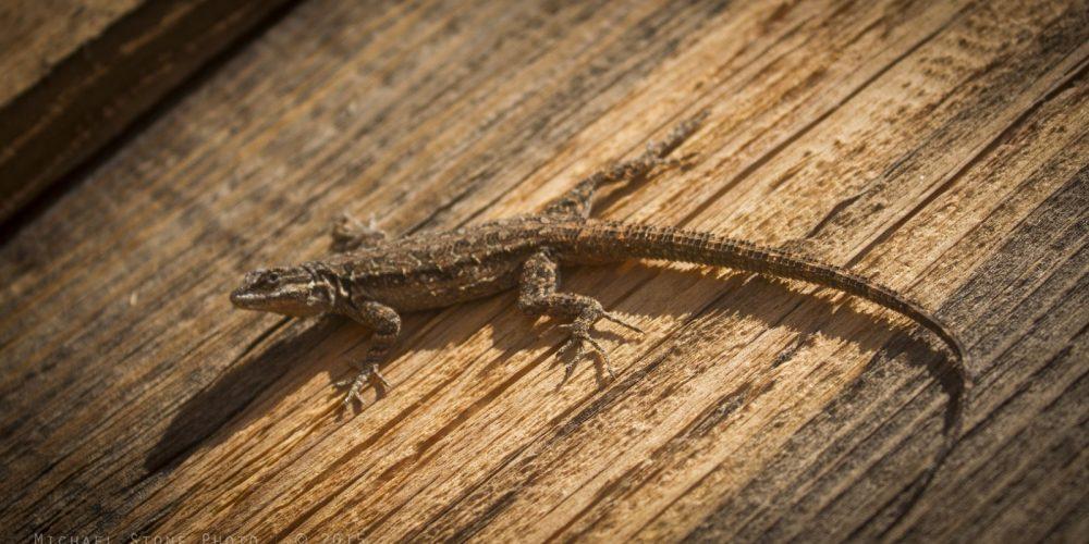 ornate-tree-lizard-urosaurus-ornatus