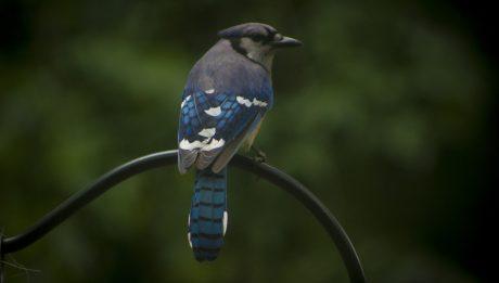 blue-jay-cyanocitta-cristata