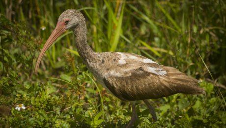 white-ibis-juvenile-eudocimus-albus