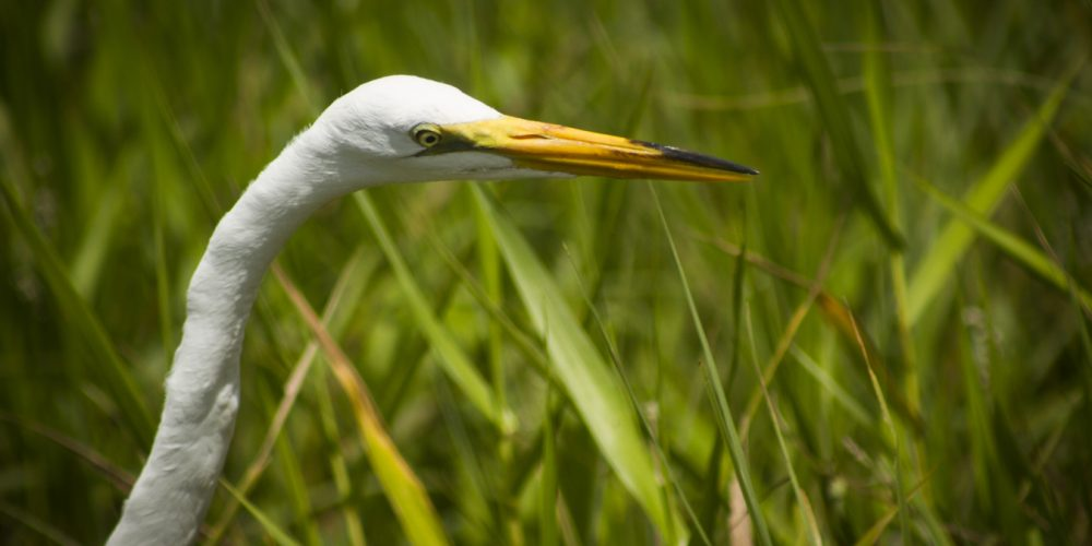 great-white-egret-ardea-alba