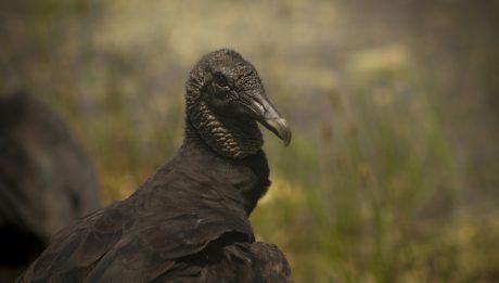 american-black-vulture-coragyps-atratus