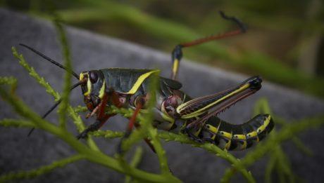 eastern-lubber-grasshopper-juvenile-romalea-guttata